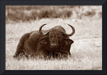 Old Buffalo Bull in Sepia Tones