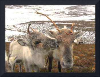 Reindeer cow and calf
