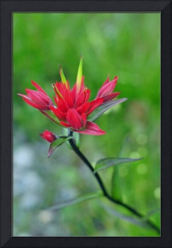 Indian Paintbrush in Red