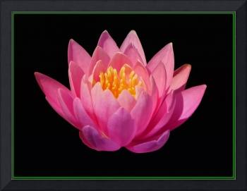 Decorative Water Lily