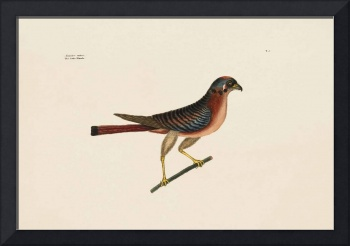 Mark Catesby~The Little Hawk, The Natural History