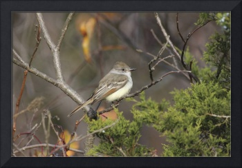 Ash-Throated Flycatcher Photograph
