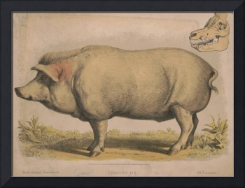 Vintage Illustration of a Domesticated Pig (1874)