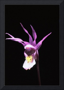 Wild Fairy-slipper Orchid