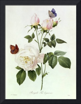 Rosa: Bengale the Hymenes, from Les Roses, 19th ce
