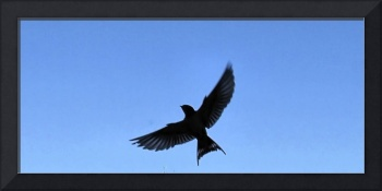 Barn Swallow Silhouette