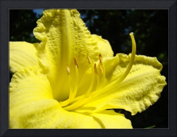 Yellow Lily Flower art Fine Art Photography