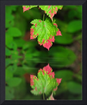 Red Tipped Green Leaf with Reflection