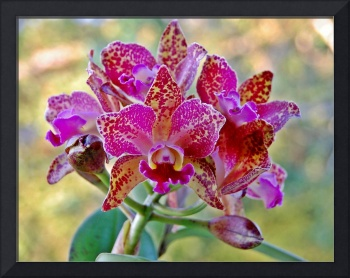 Orchid Black Waianae