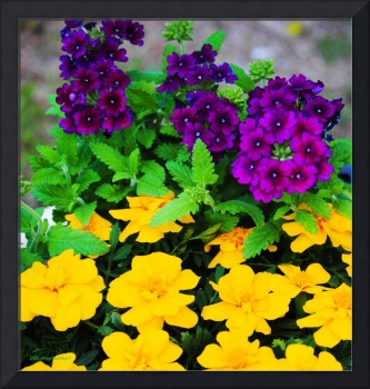 Verbenas and French Marigolds