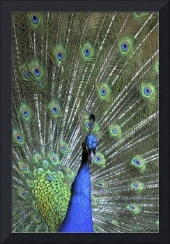 Colorful Bouquet of Peacock Feathers