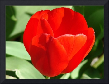 Big Red Tulip