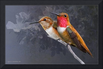 among the roses rufous hummingbirds