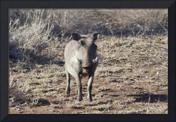 Warthog in the Wild