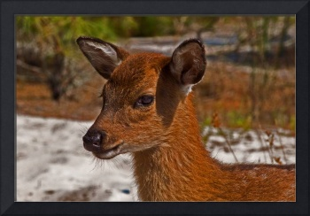 assateague-sika-deer-close-7195