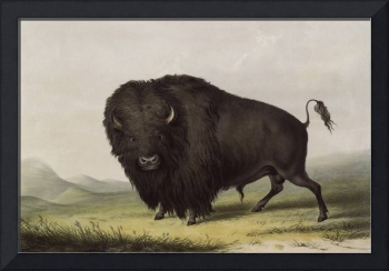 Buffalo by George Catlin
