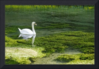 Swan on the River Lathkill (28314-RDA)