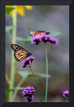 Two Monarchs on Verbena 2011