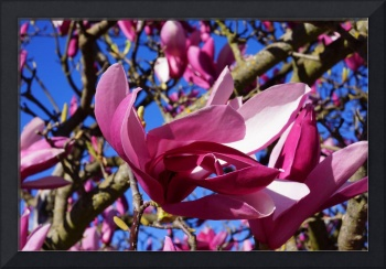 Sunny Pink Magnolia Flowers Tree Art Prints