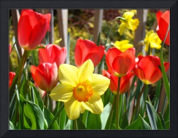 Spring Daffodils Flowers art prints Red Tulips