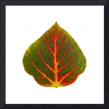 Green Red and Yellow Aspen Leaf 4