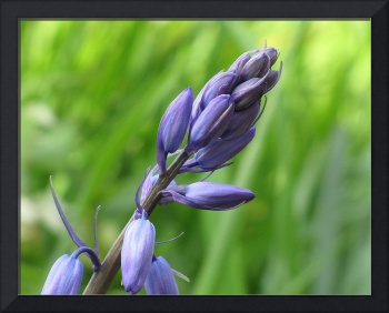 Purple Flower Buds