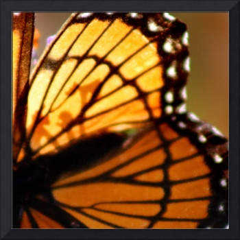 Viceroy Butterfly Wing