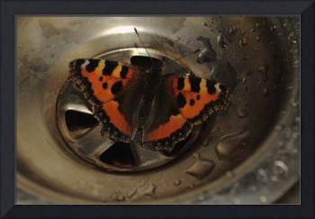 Small Tortoiseshell Butterfly In Sink