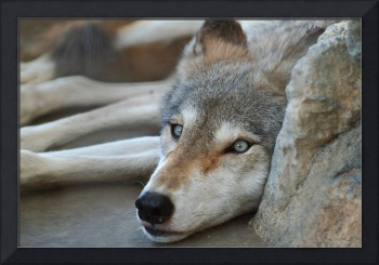 Redbud the Wolf Resting