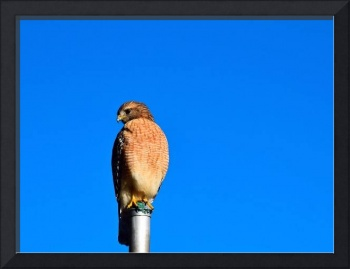 Red Shouldered Hawk 00592
