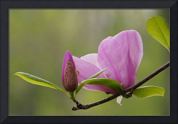 Magnolia Bud and Bloom