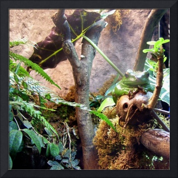 Tree Frog,  square
