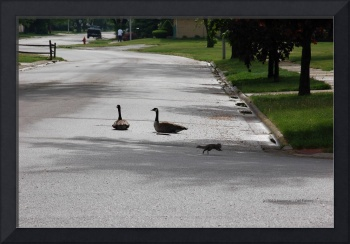Geese Resting in the Middle of the Street