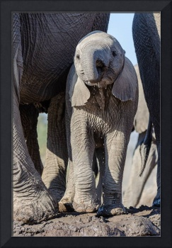 Baby Elephant Drinking by Mother Elephant