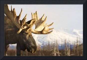 Close up profile of an adult moose at the Alaska W