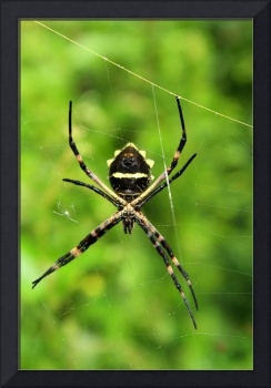 Orb Weaver Spider Suspended in a Web