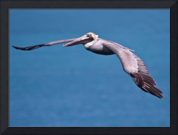 Pelican on flight, Seven Mile Bridge Florida Keys