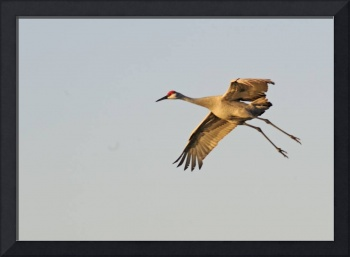 Sandhill Crane Slows to Land
