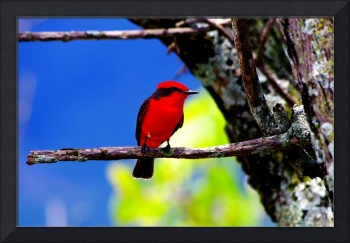 Red male flycatcher of Colombia