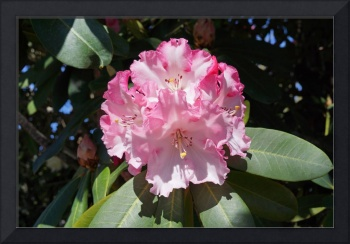 Rhodies Pink White Flowers Photography Art Prints
