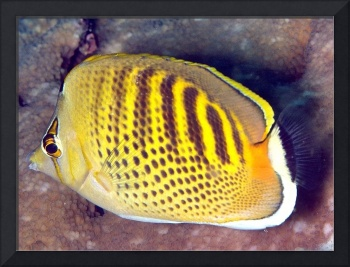 Small Yellow Butterflyfish