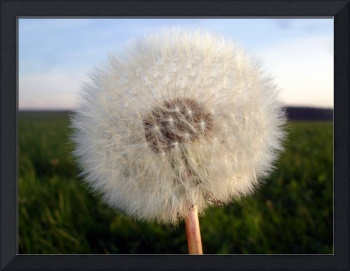 Deutsch Dandelion