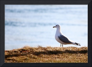Seagull on Cape Cod #2