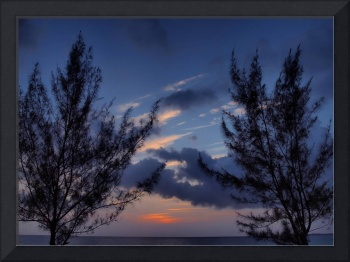 Casuarina Trees At Dusk In The Cayman Islands