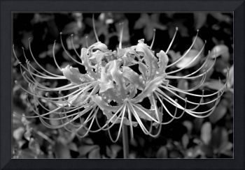 Spider Lily Desaturated