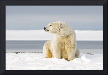 Polar bear sow on a barrier island in early Fall B