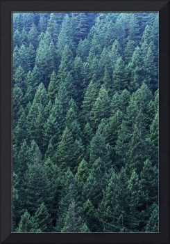 Washington, Olympic National Forest, Douglas Fir T