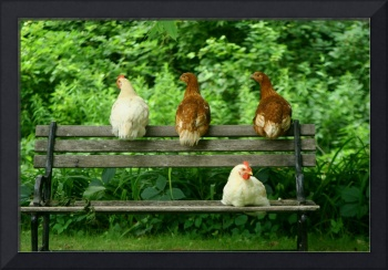 Chillin' Chickens