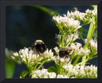 Bumble Bees foraging