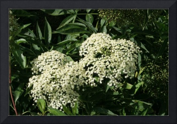 Small Bunches of White Flowers